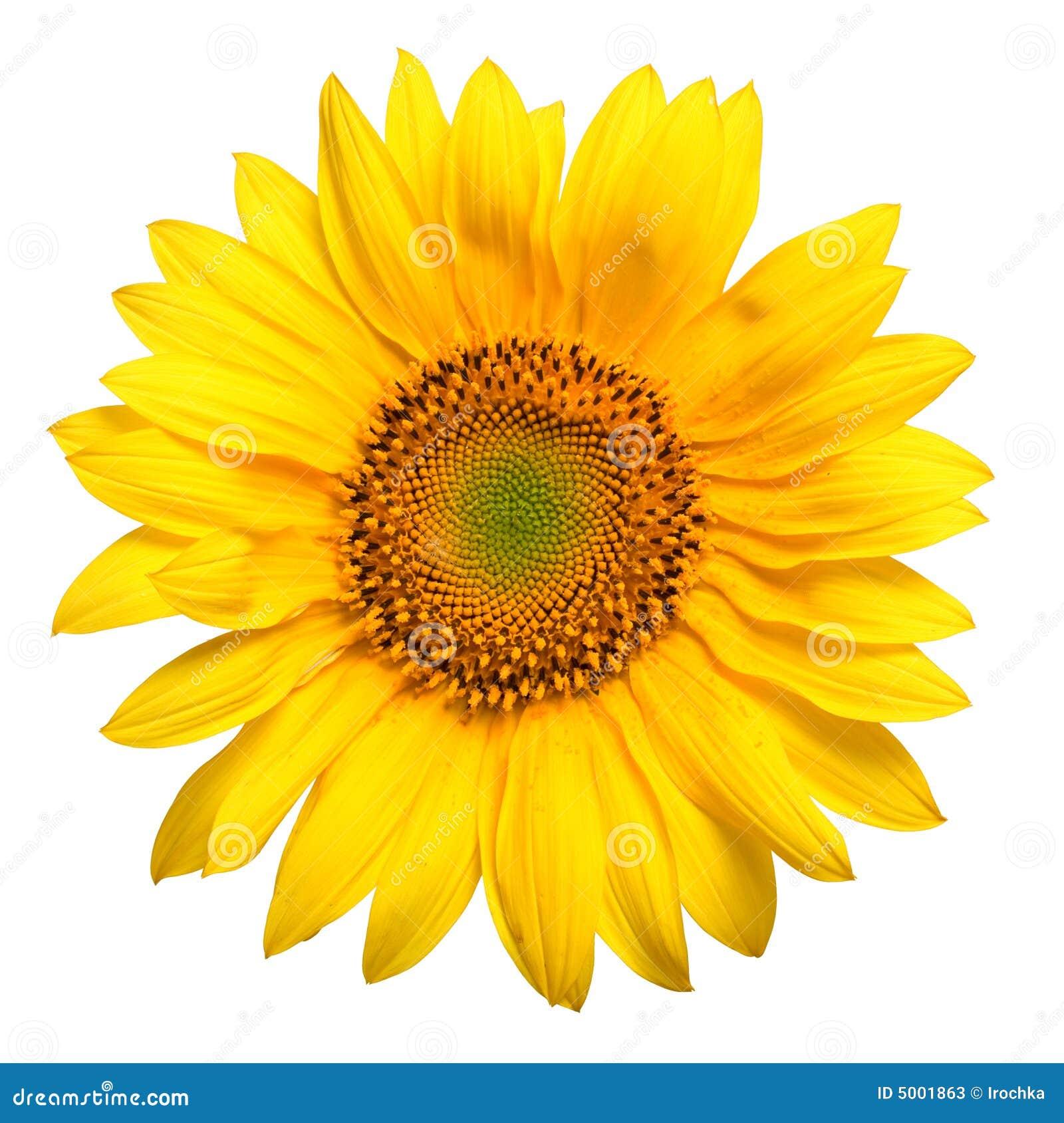 Flower Photography Girassol Amarelo Brilhante Imagem De Stock Imagem De