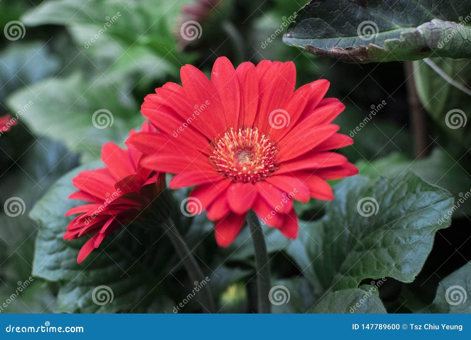 Girassol bonito da flor na mostra