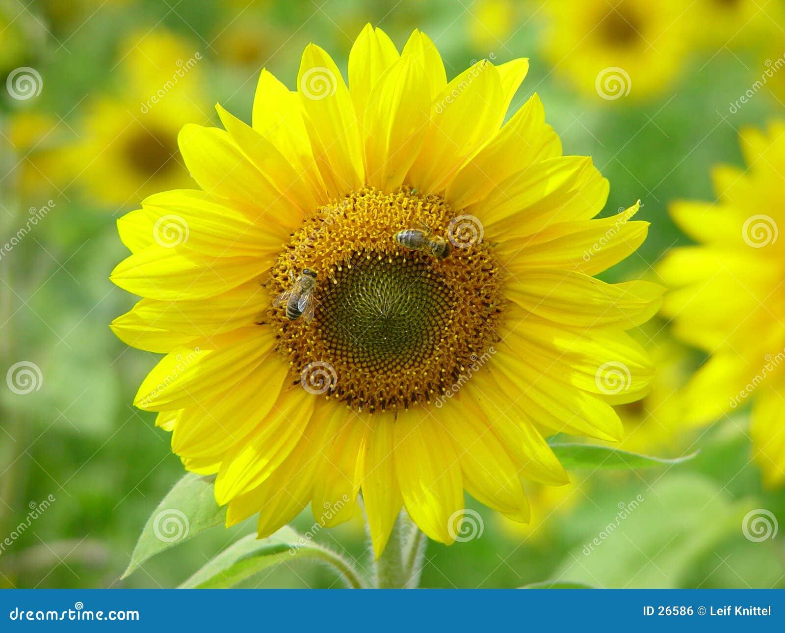 Girassol com abelhas