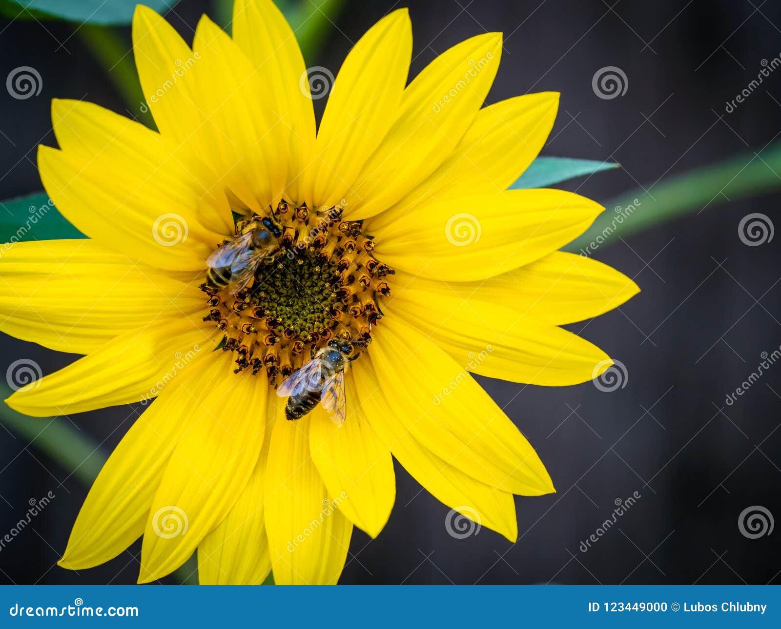 Girassol com abelhas Polinização das flores