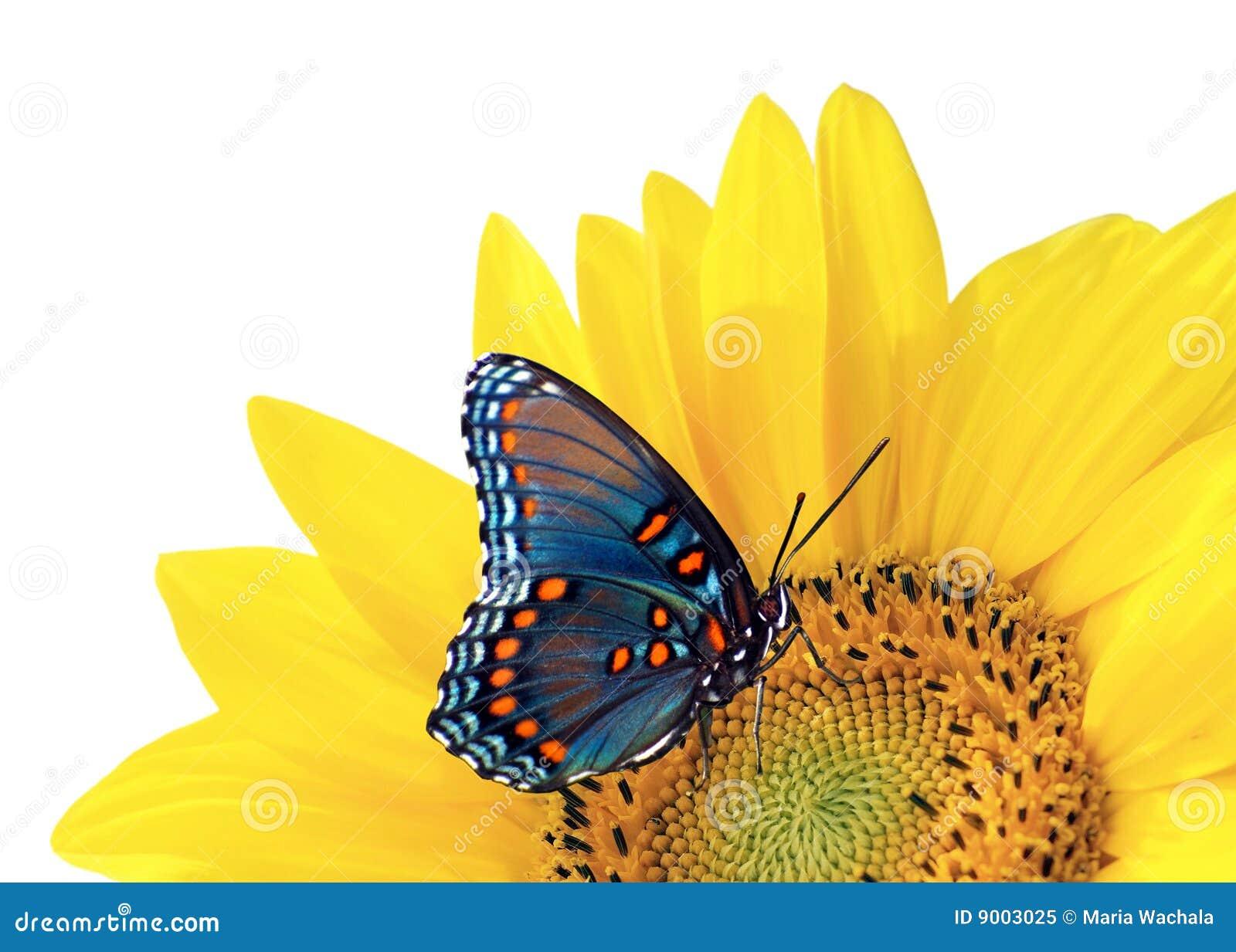 Girassol e borboleta azul