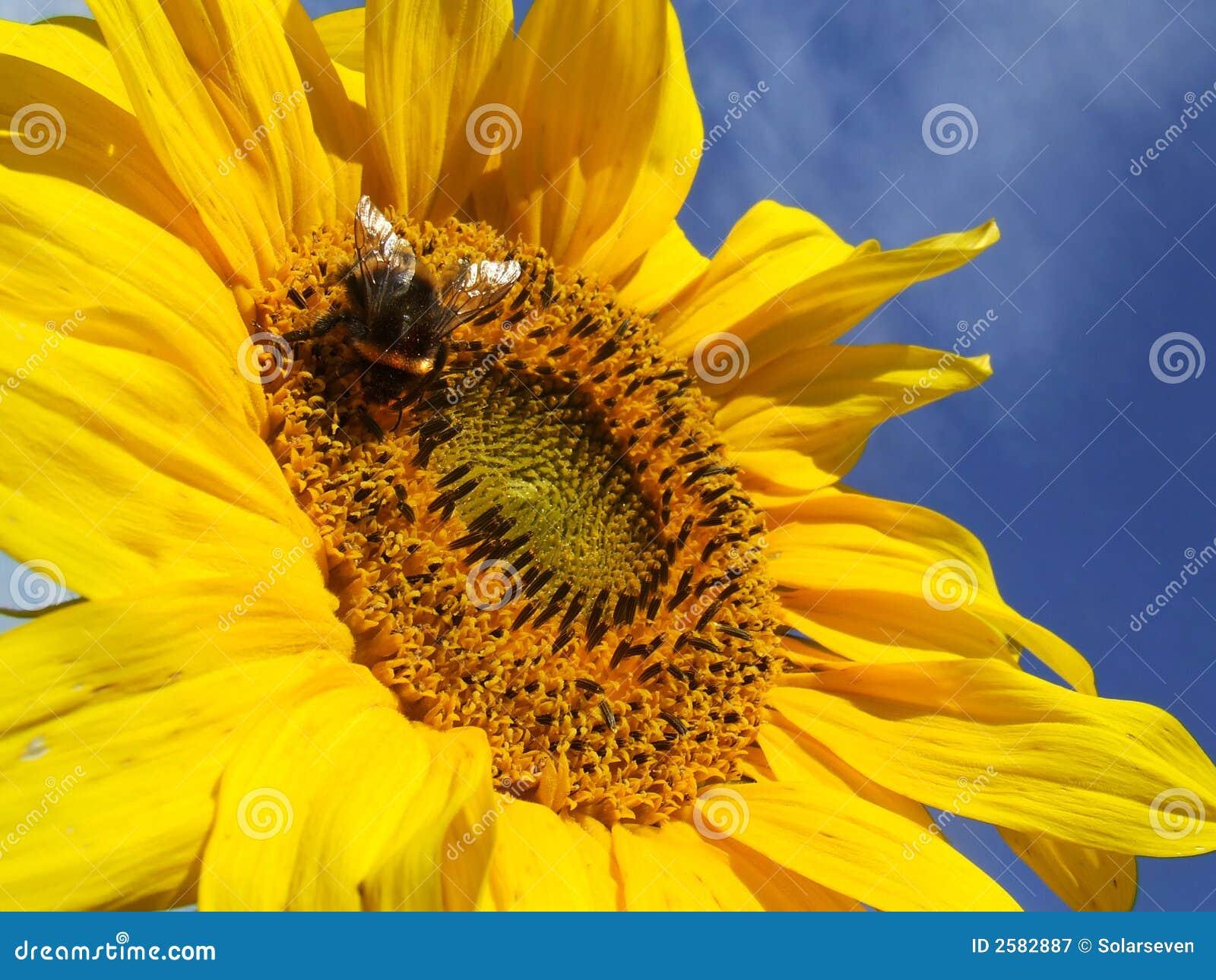 Girassol e uma abelha