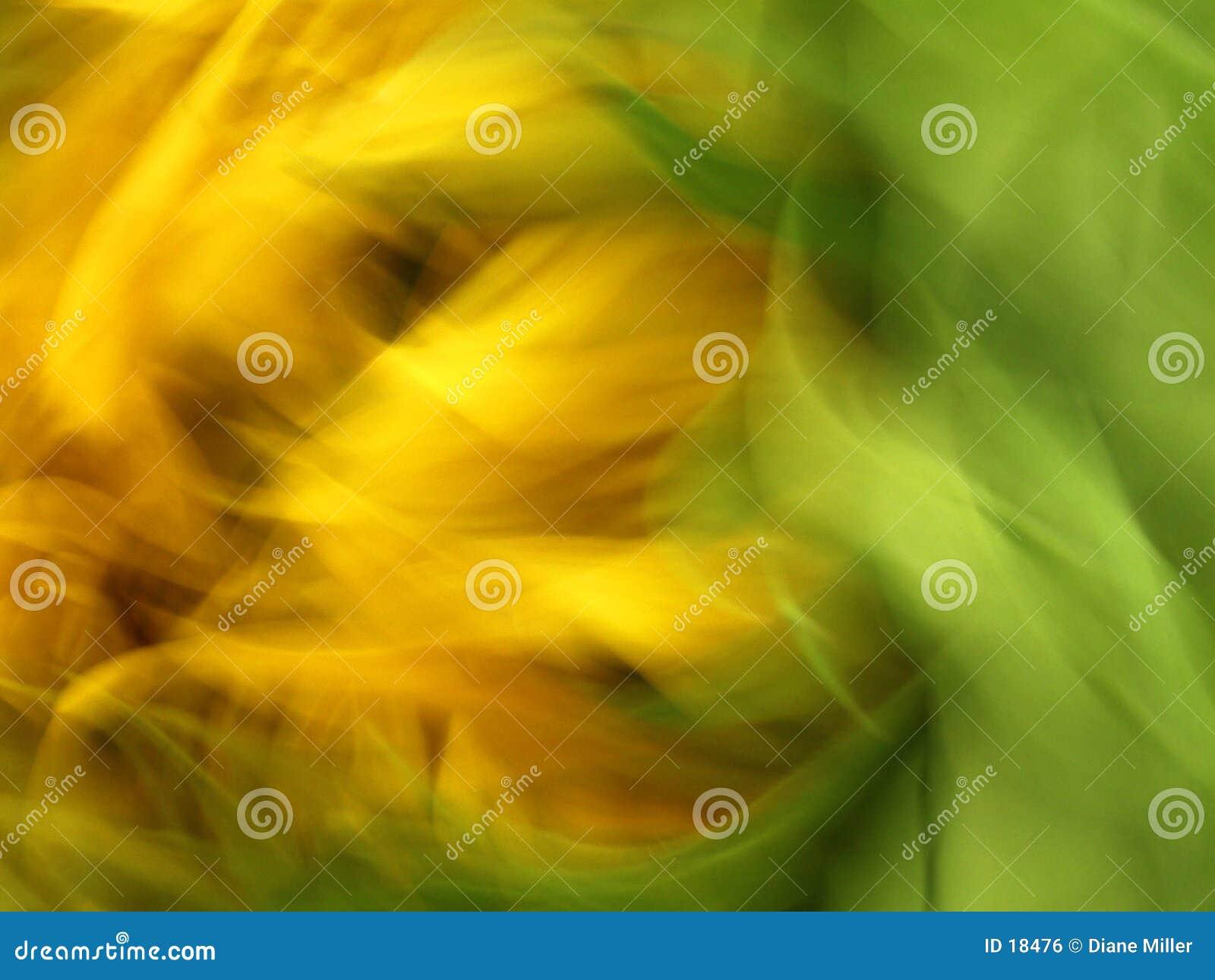 Girassol ventoso