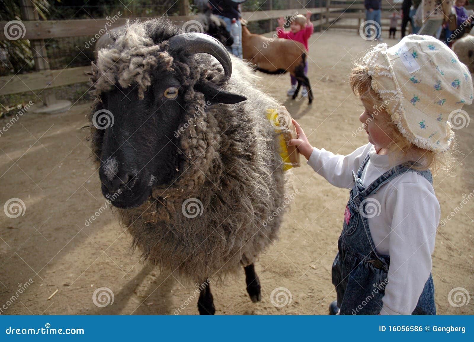 Girl combs sheep