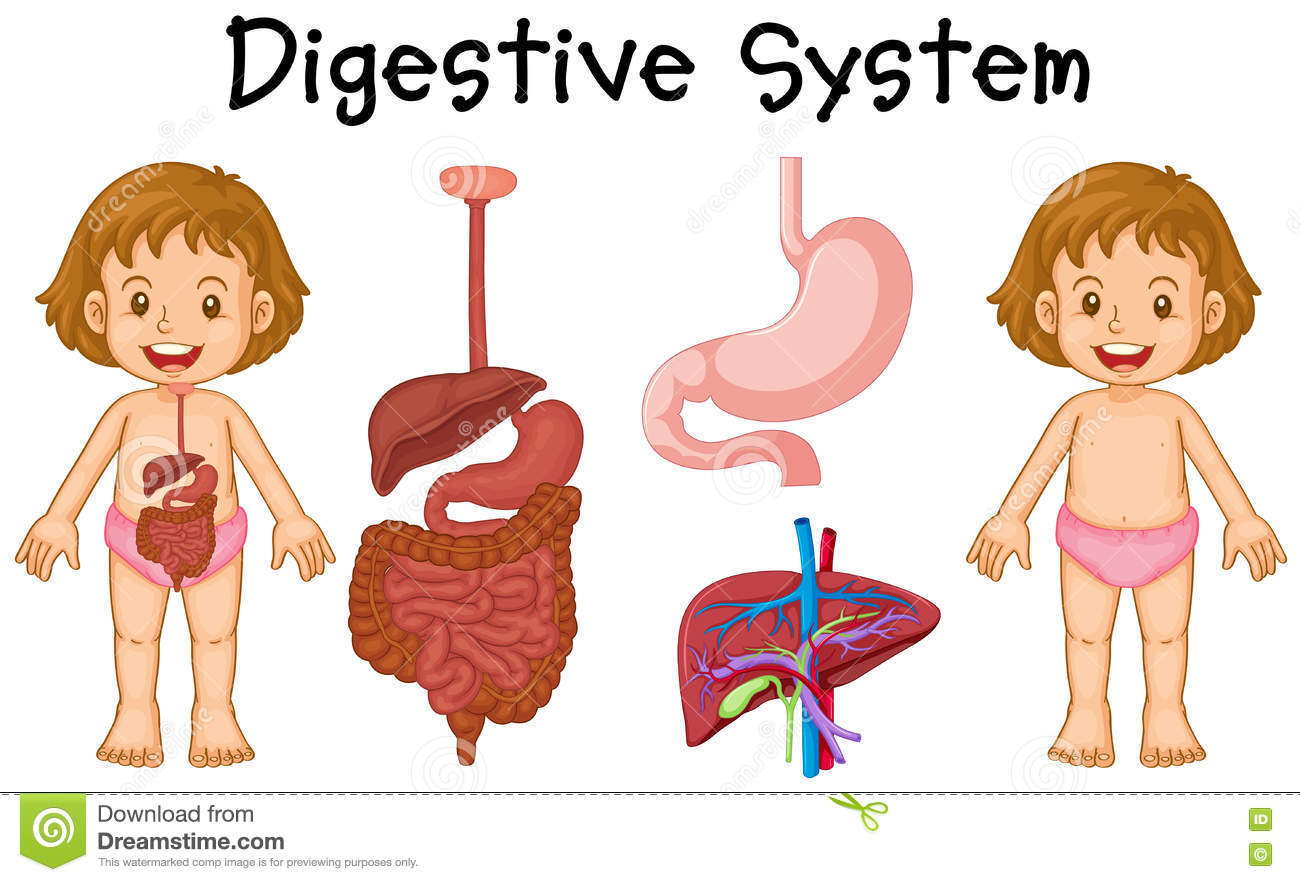 Girl And Digestive System Diagram Stock Vector - Image ...