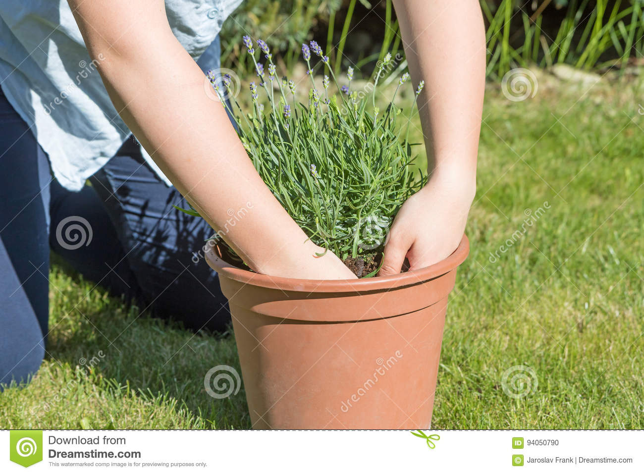 The girl is planting lavender in the pot