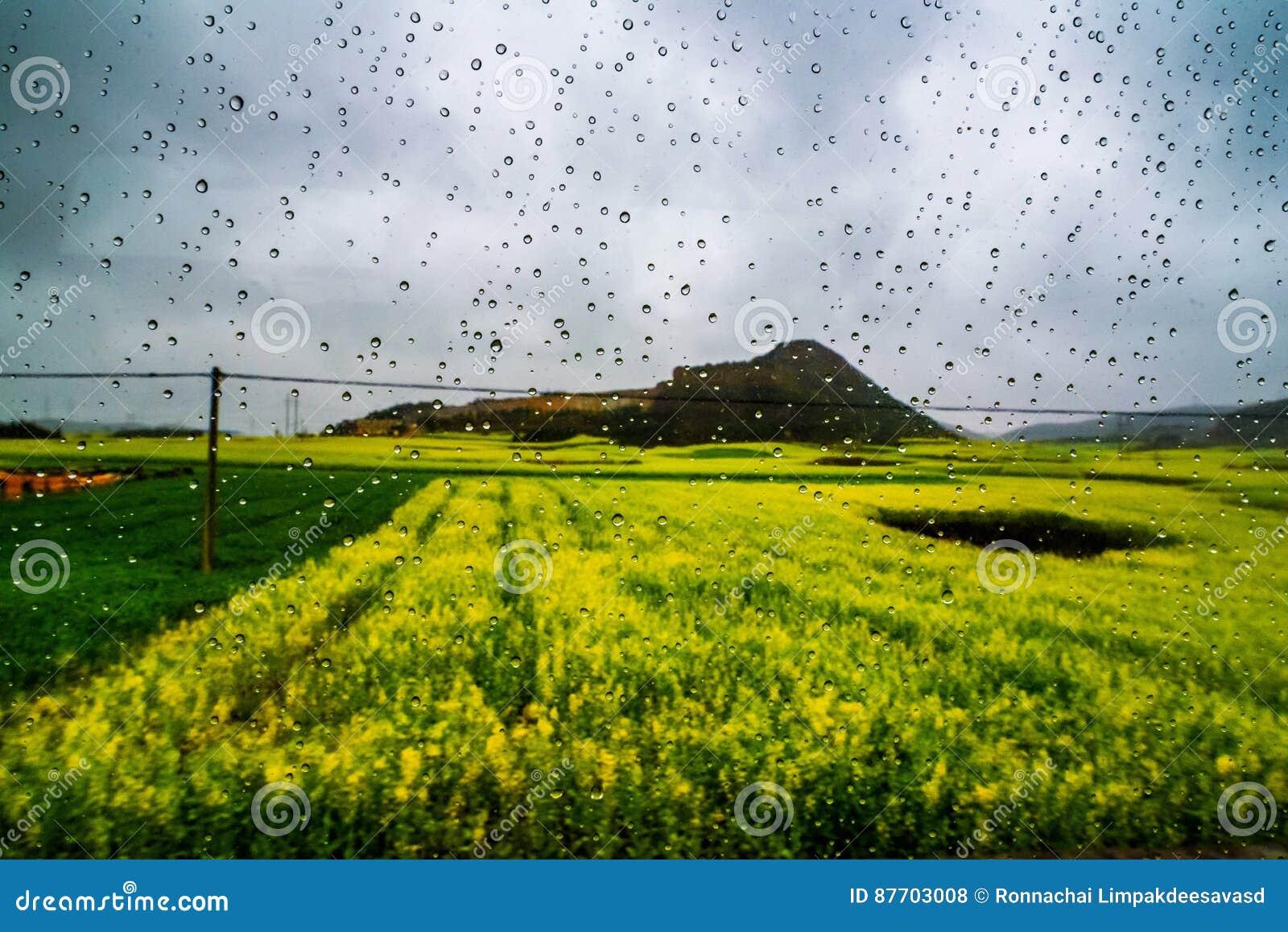 Gisement de Canola, gisement de fleur de graine de colza avec la baisse de pluie
