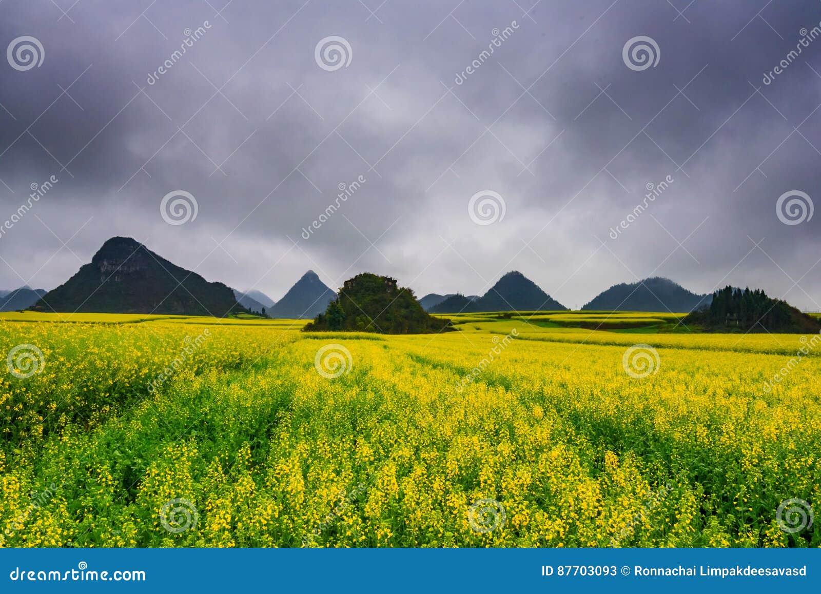 Gisement de Canola, gisement de fleur de graine de colza avec la brume dans Luoping