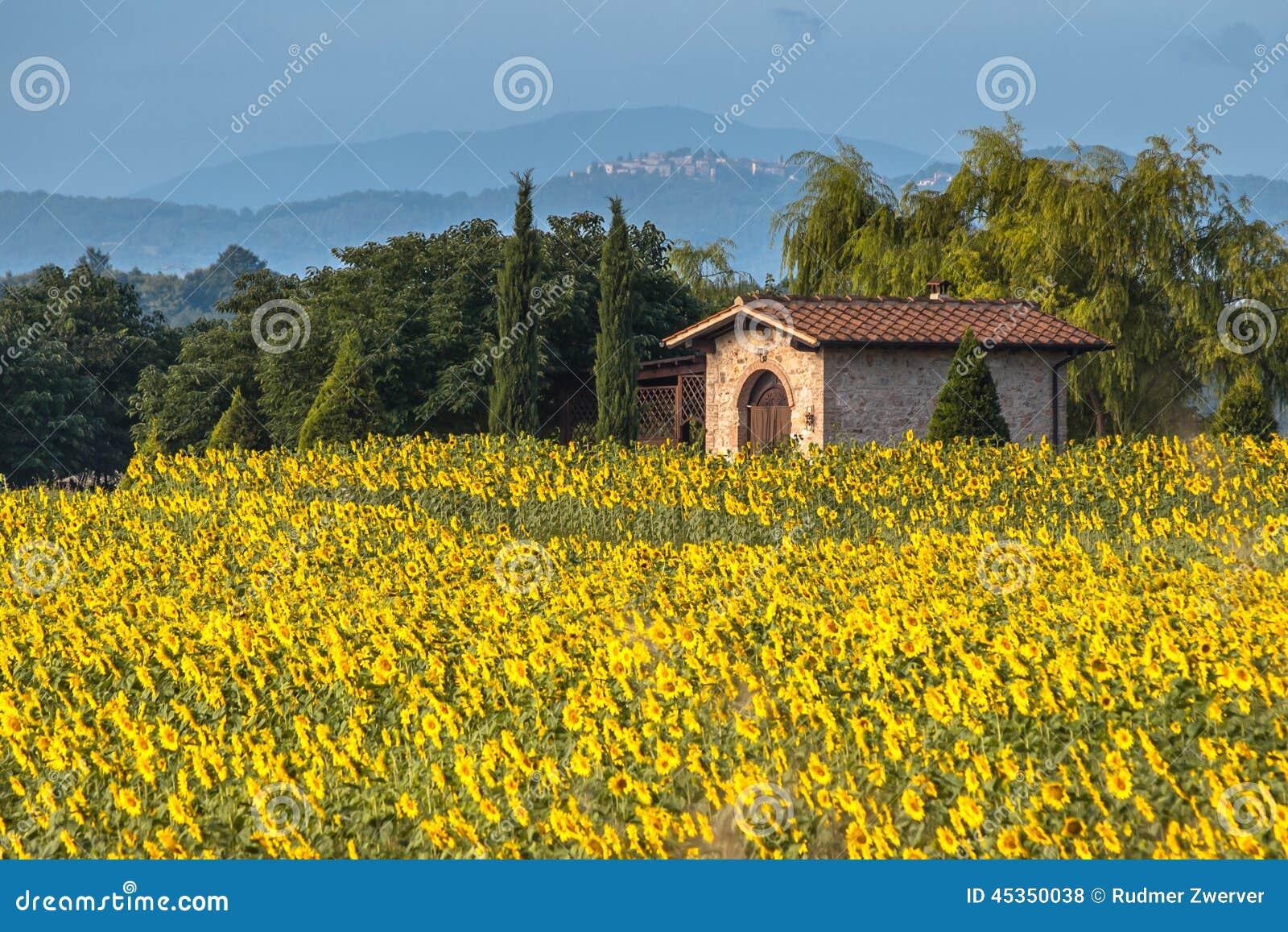 Gisement de fleur de Sun dans le paysage de la Toscane, Italie