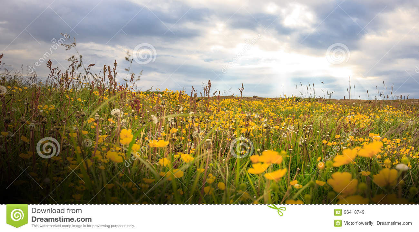 Gisement De Fleur Jaune Sauvage Avec Le Beaux Lever De Soleil Et