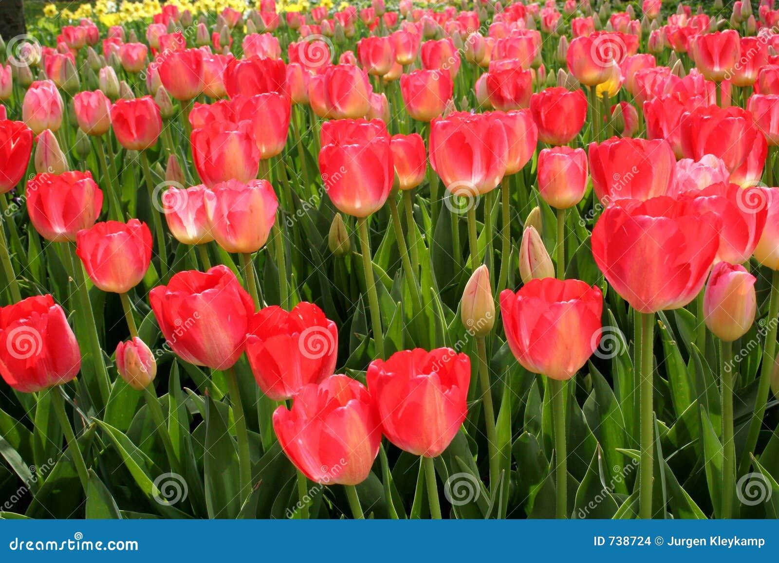 Gisement de fleur rose