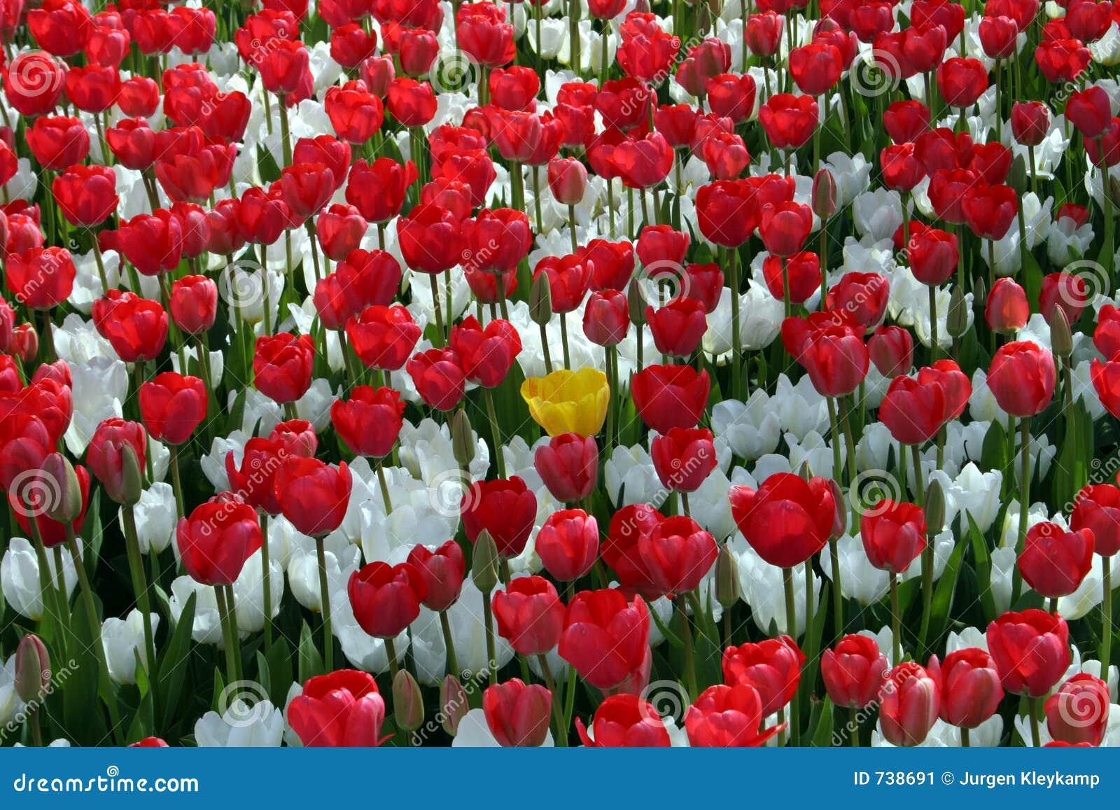 Gisement de fleur rouge et blanche