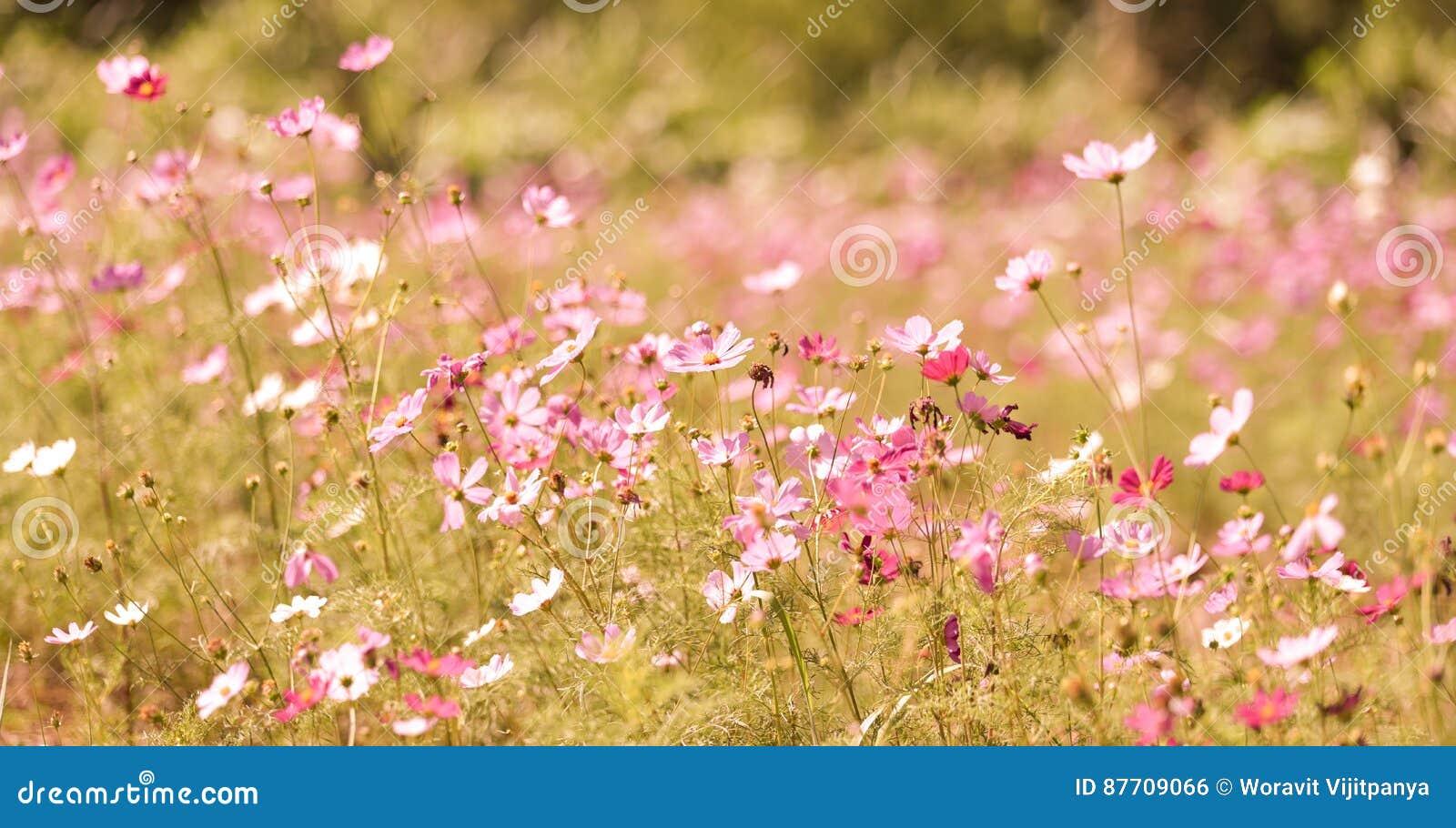 Gisement de fleurs de cosmos