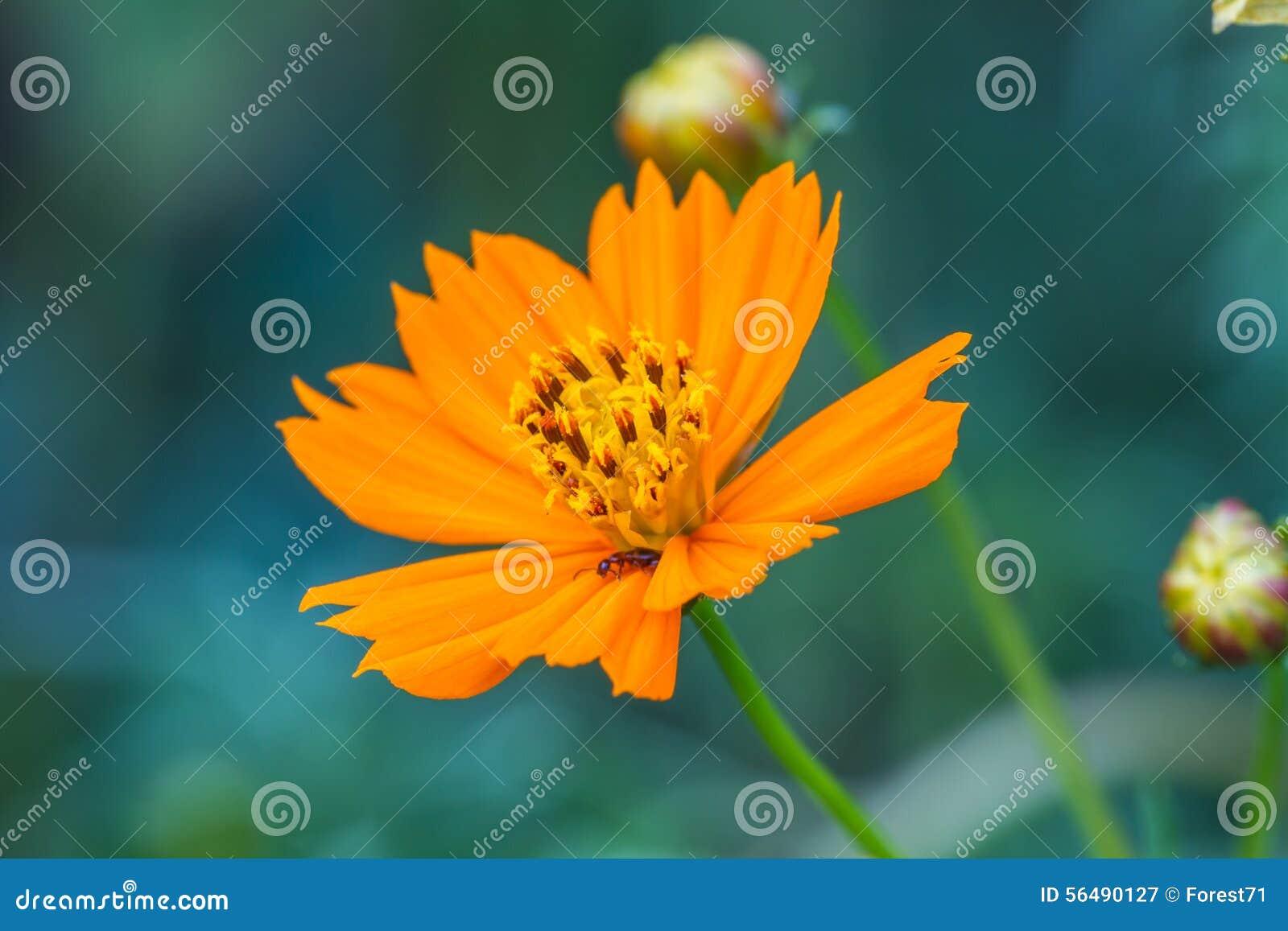 Gisement de fleurs de souci