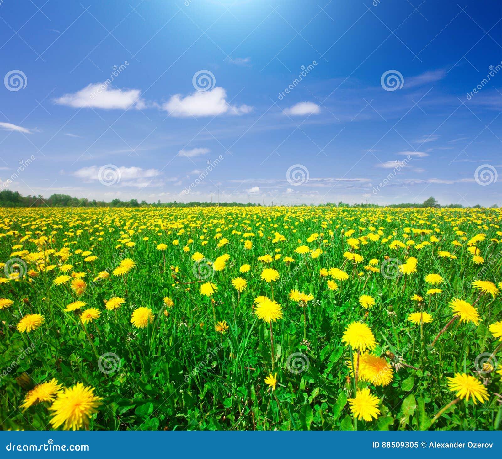Gisement de fleurs jaune sous le ciel nuageux bleu
