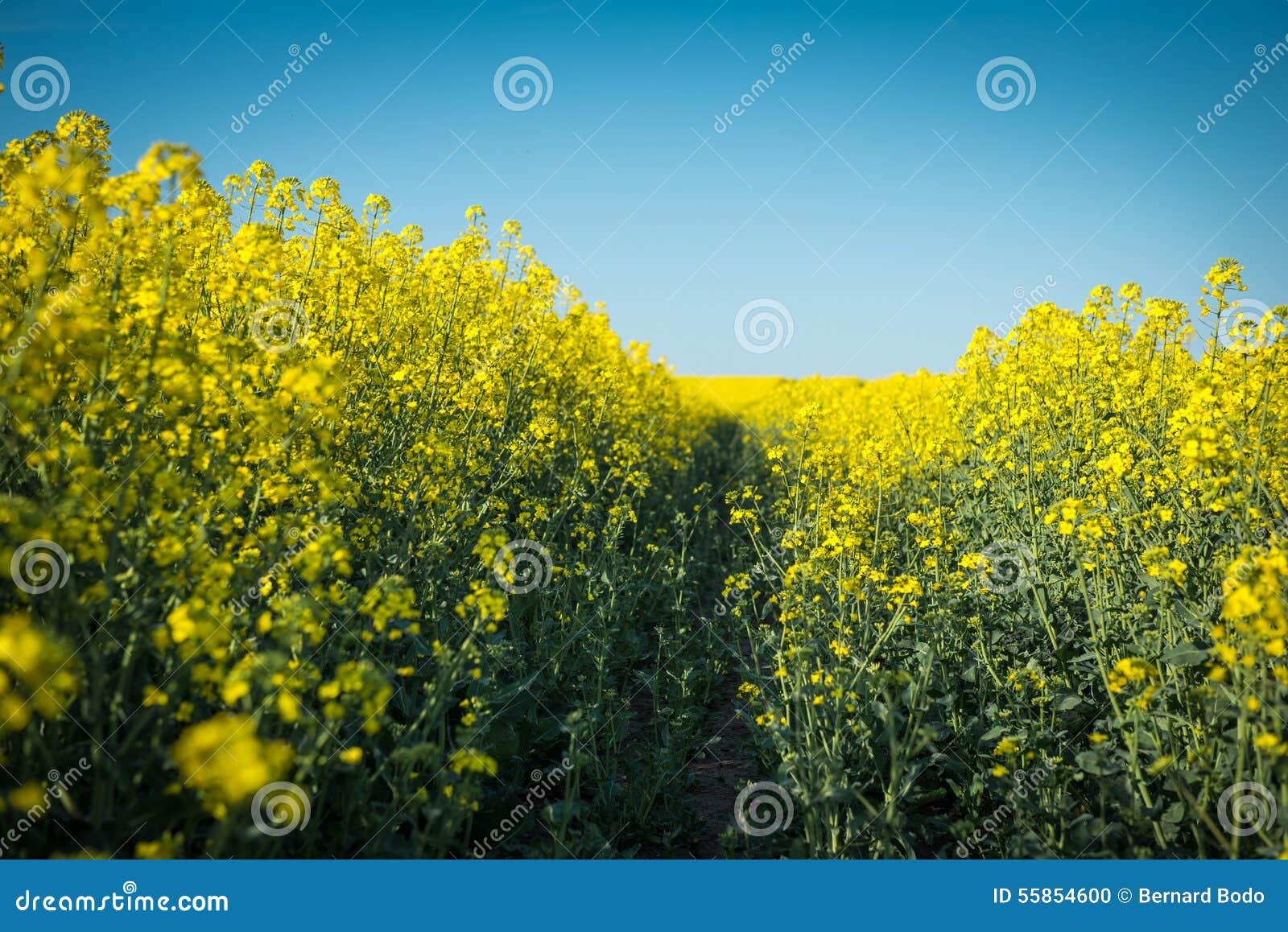 floraison colza