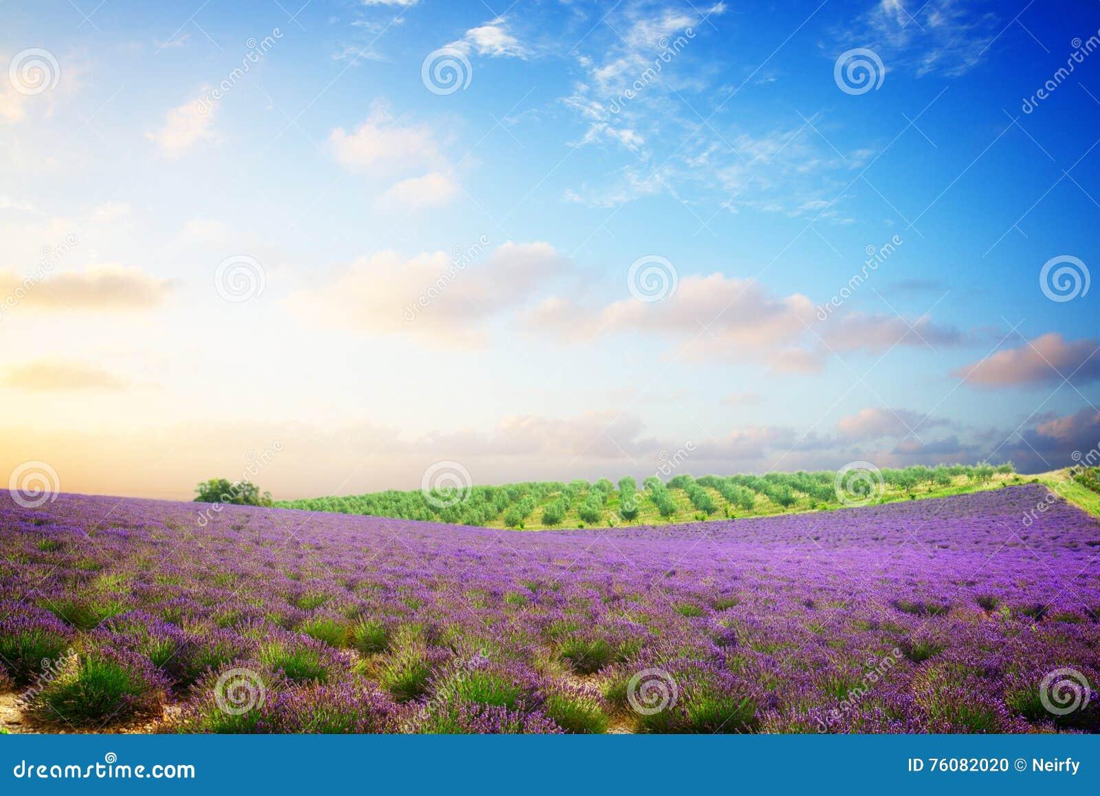 Gisement de floraison de lavande
