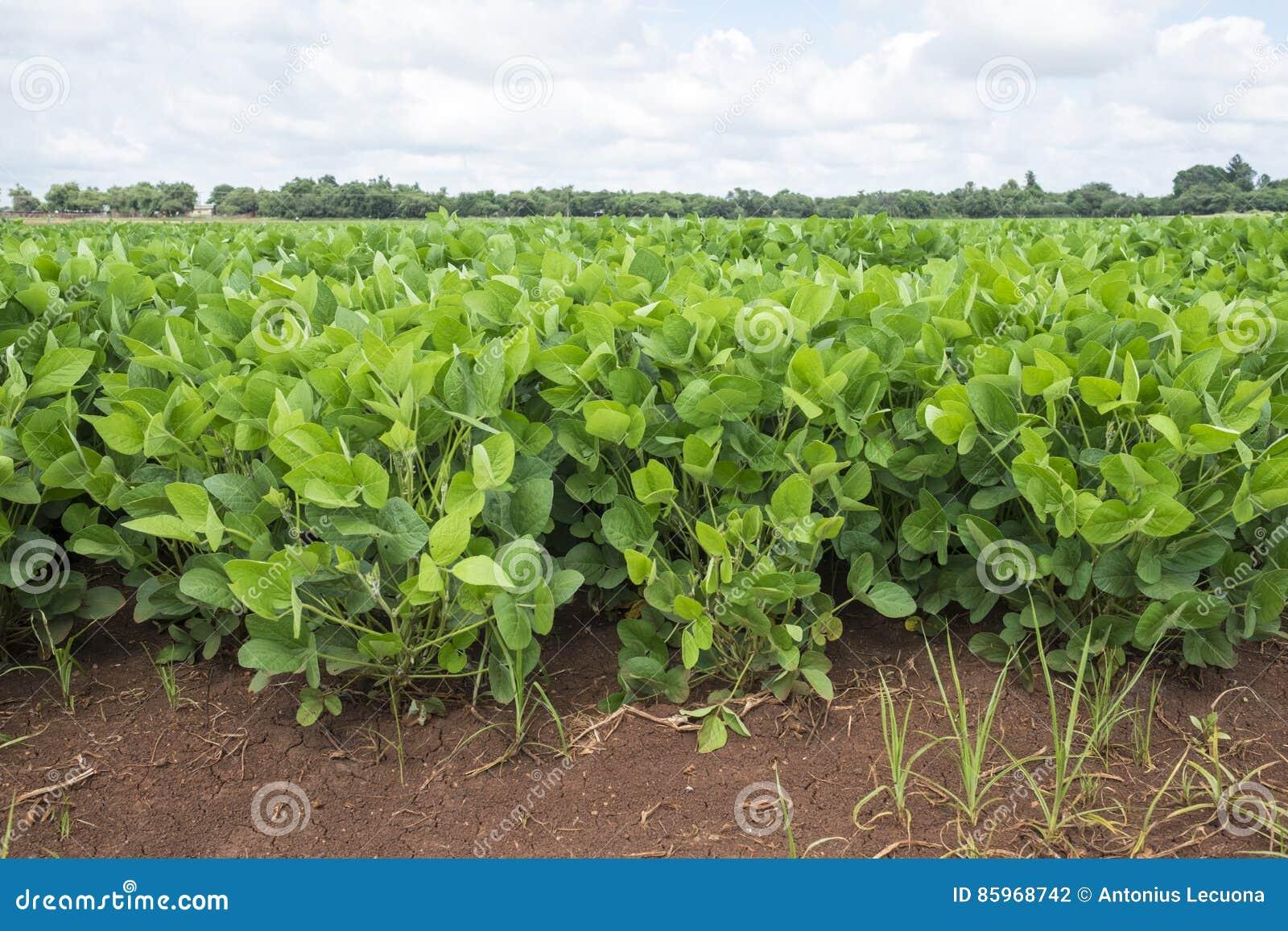 Gisement de haricot sec