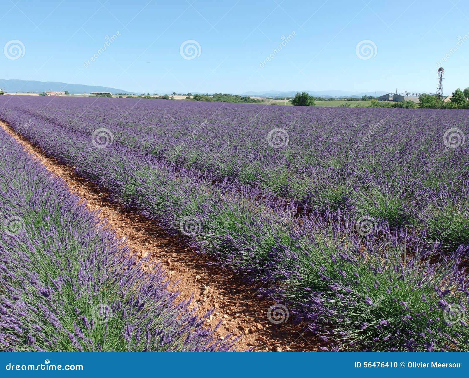 Gisement de lavande, Provence, au sud des Frances