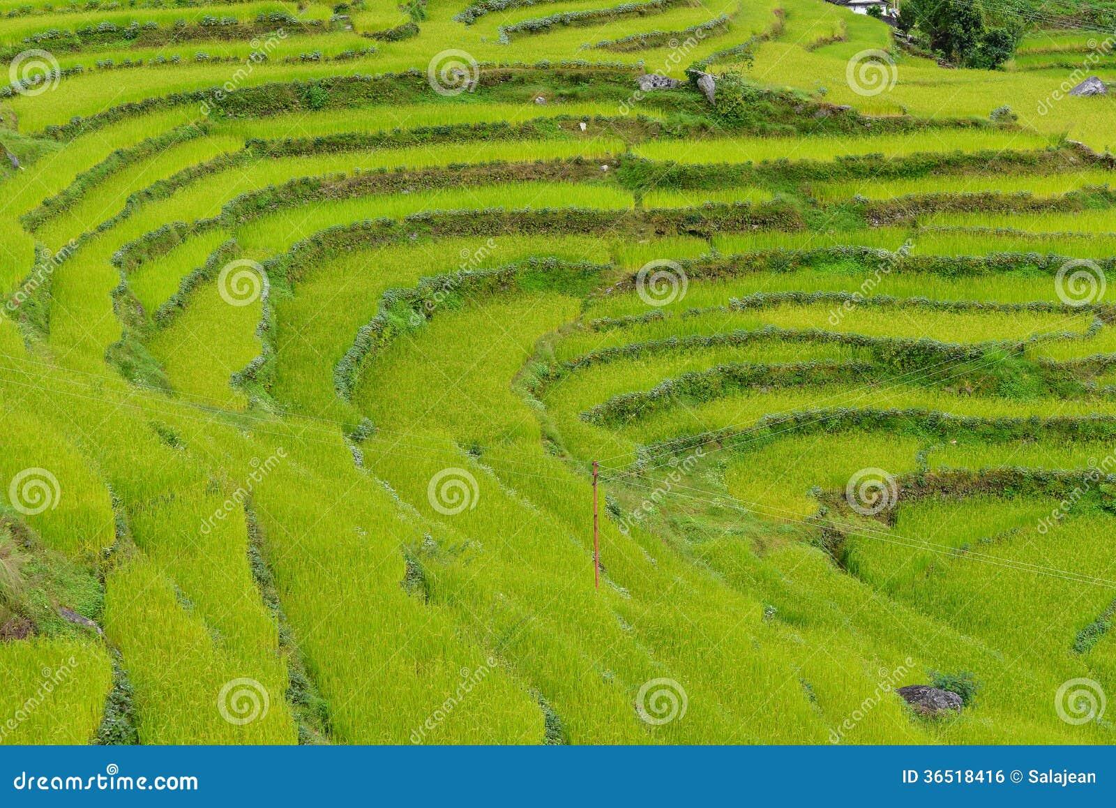 Gisement de riz au Népal