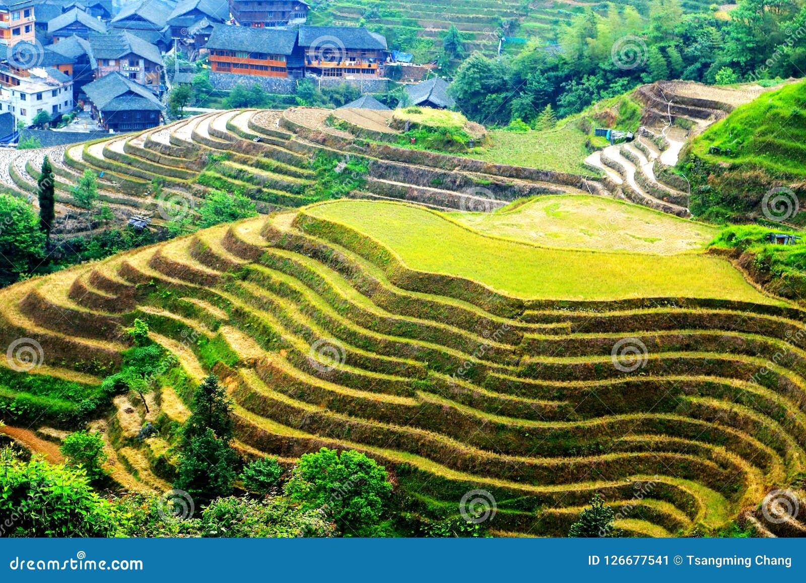 Gisement de riz de terrasse de Longji