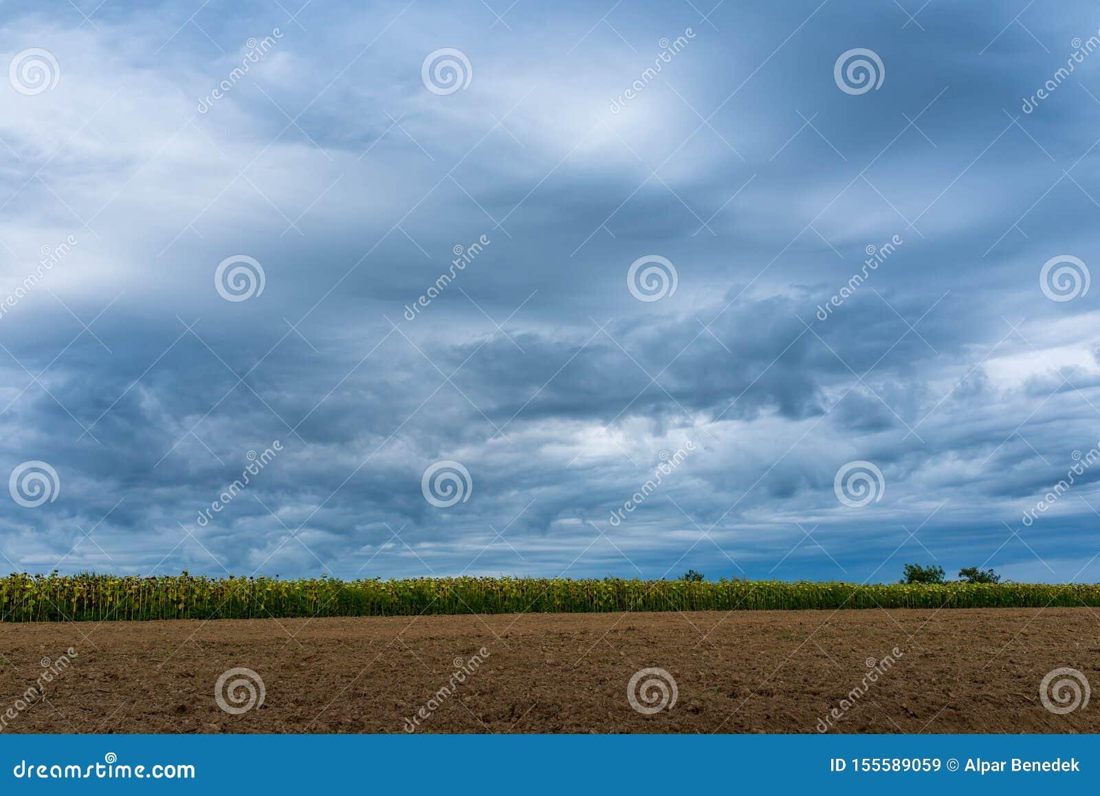 Gisement de tournesol près du sol labouré, stormclouds dramatiques à l été