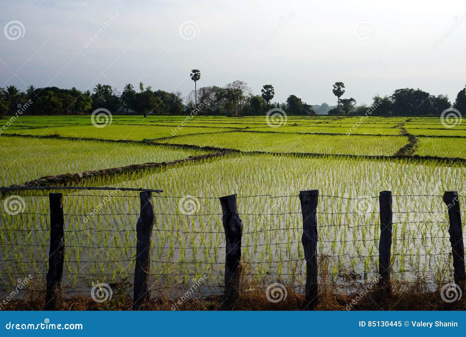 Gisement en bois de barrière et de riz