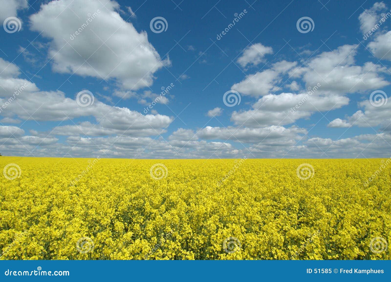Gisement jaune de graine de colza