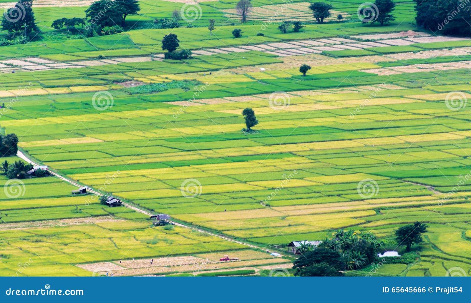 Gisement vert de riz