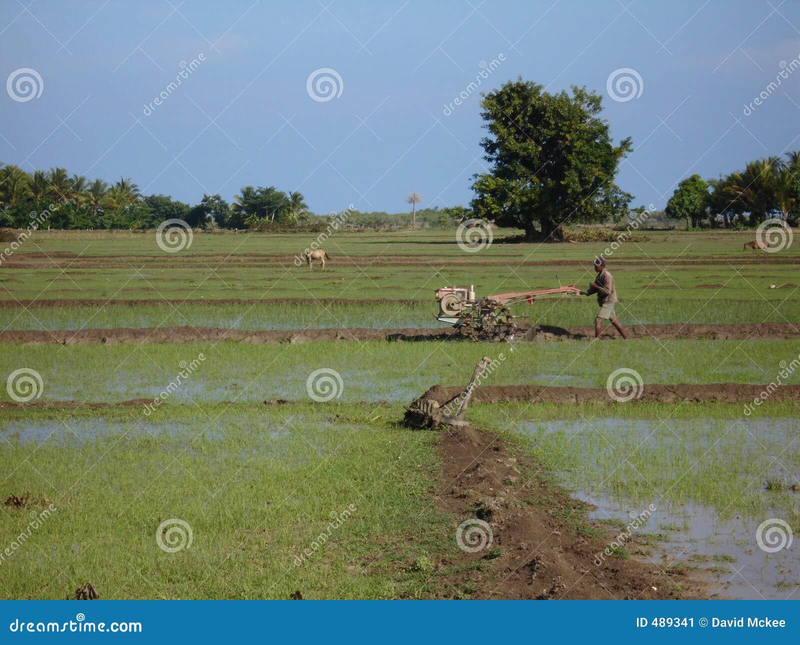 Gisements de riz au travail
