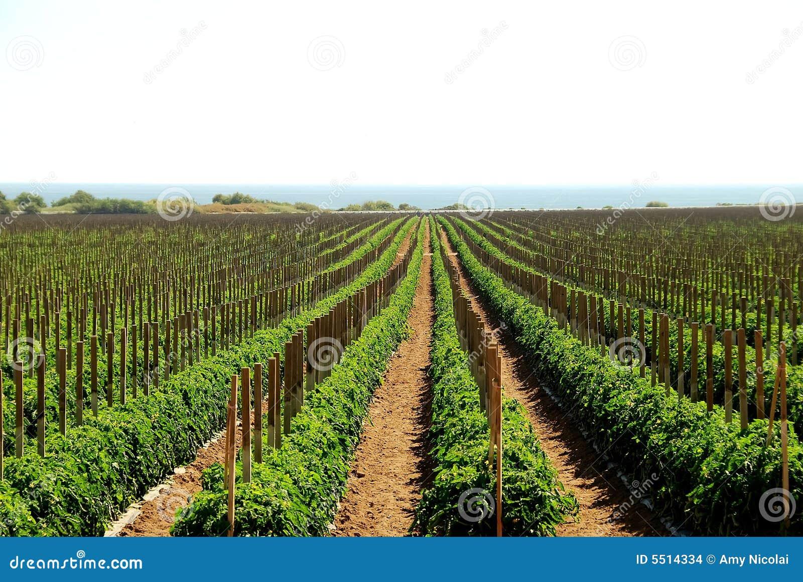 Gisements de tomate en Californie 2