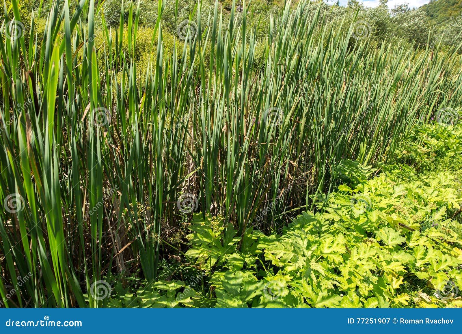 Giunco piante palustri immagine stock immagine di lago for Piante palustri
