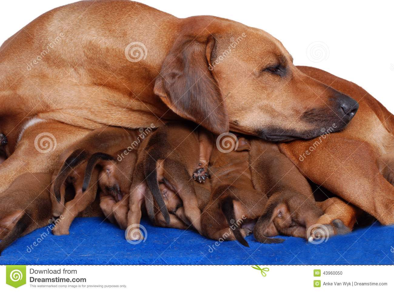 Ilunga Adell Wallpapers Dam with puppies Dog with puppies