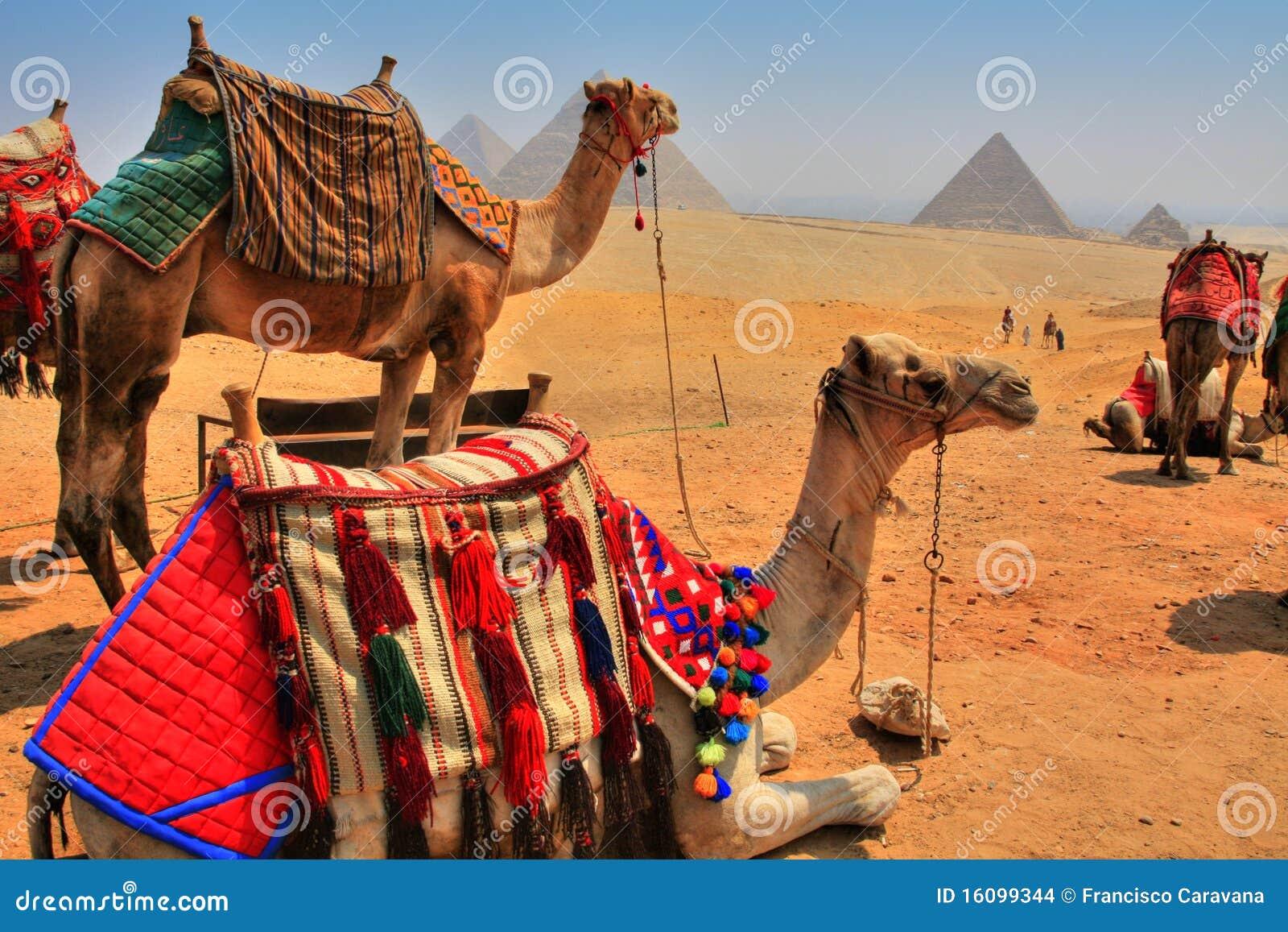 Giza Pyramids and camels