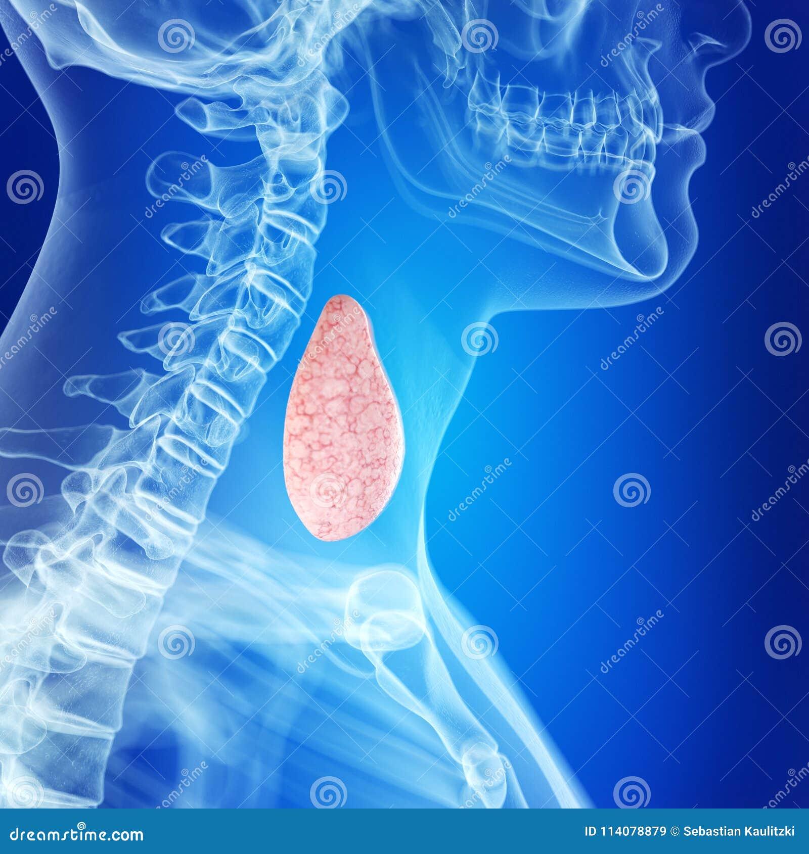A glândula de tiroide saudável