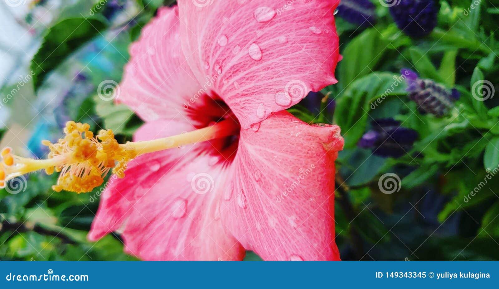Glödande rosa tropisk blomma