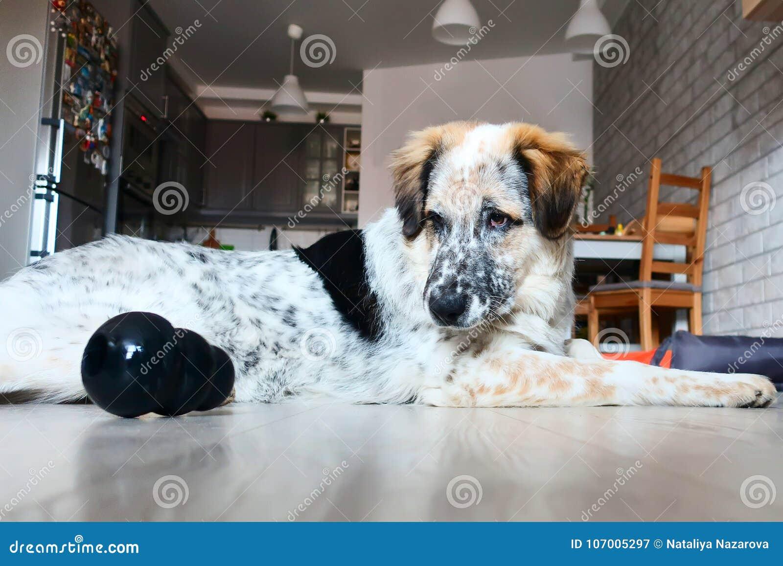 Glückliche große Hundespiele mit Spielzeug