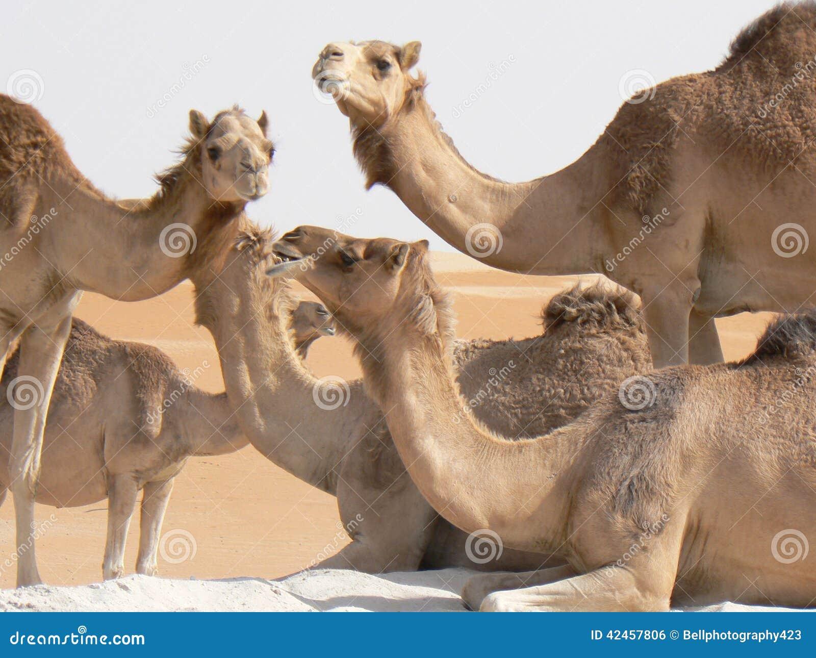 Glückliche Kamele