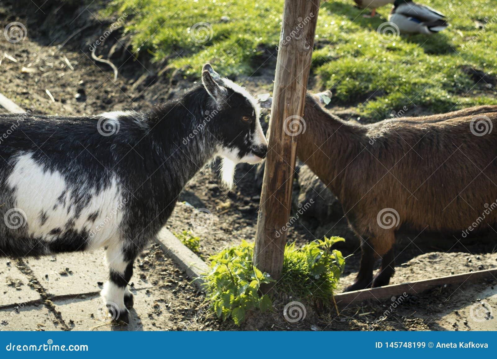 Glückliche Ziegen auf dem Dorf