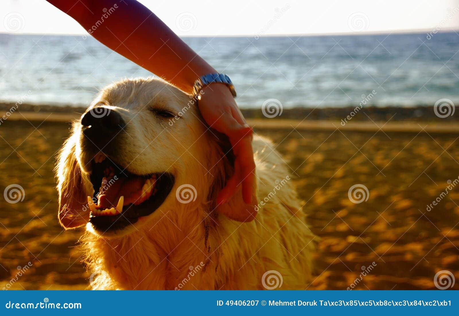 Download Glücklicher Hund Auf Dem Strand Stockbild - Bild von golden, enjoy: 49406207