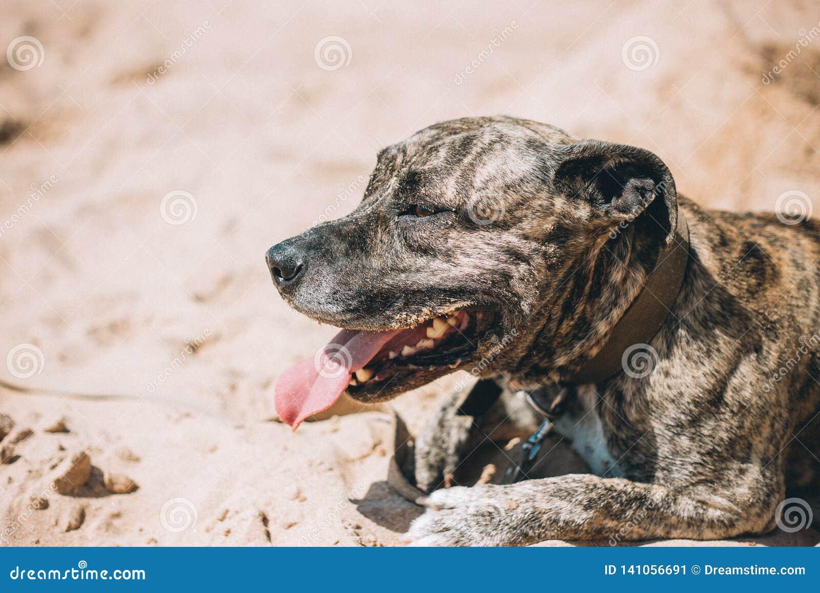 Glücklicher Hund auf dem Strand Amerikanischer Staffordshire-Terrier