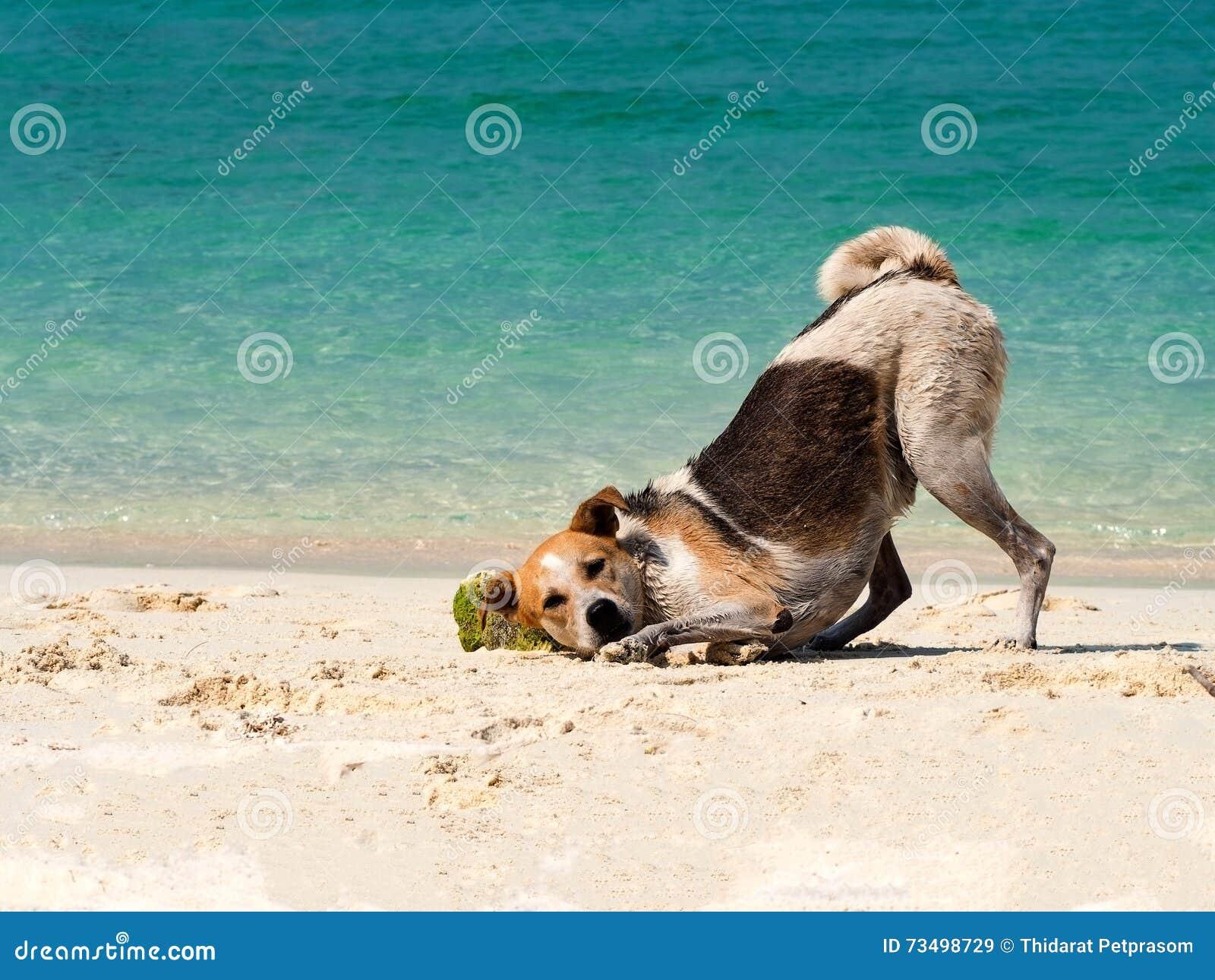 Glücklicher Hund setzte es Haupt auf Sandstrand mit dem schönen Seehintergrund Lustiger Schwarzweiss-Hund, der auf Strand in Meer