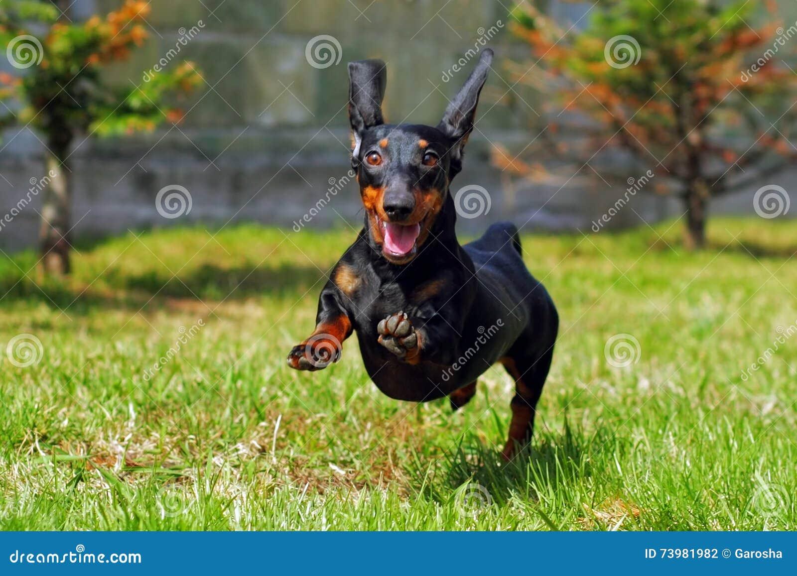 Glucklicher Hunddeutscher Behaarter Zwergartiger Dachshund