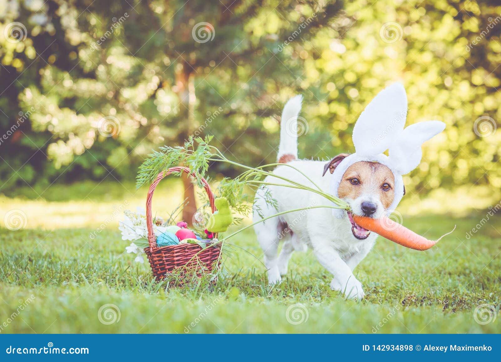 Glücklicher Hundetragende Häschenohren für Ostern-Partei, die große Karotte im Mund hält