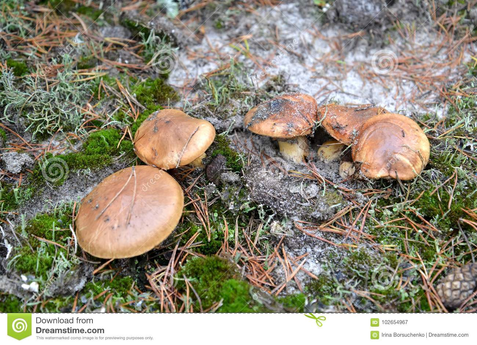 Gladde luteus L van hefbomensuillus Grijs groei bij familie in het naaldhout
