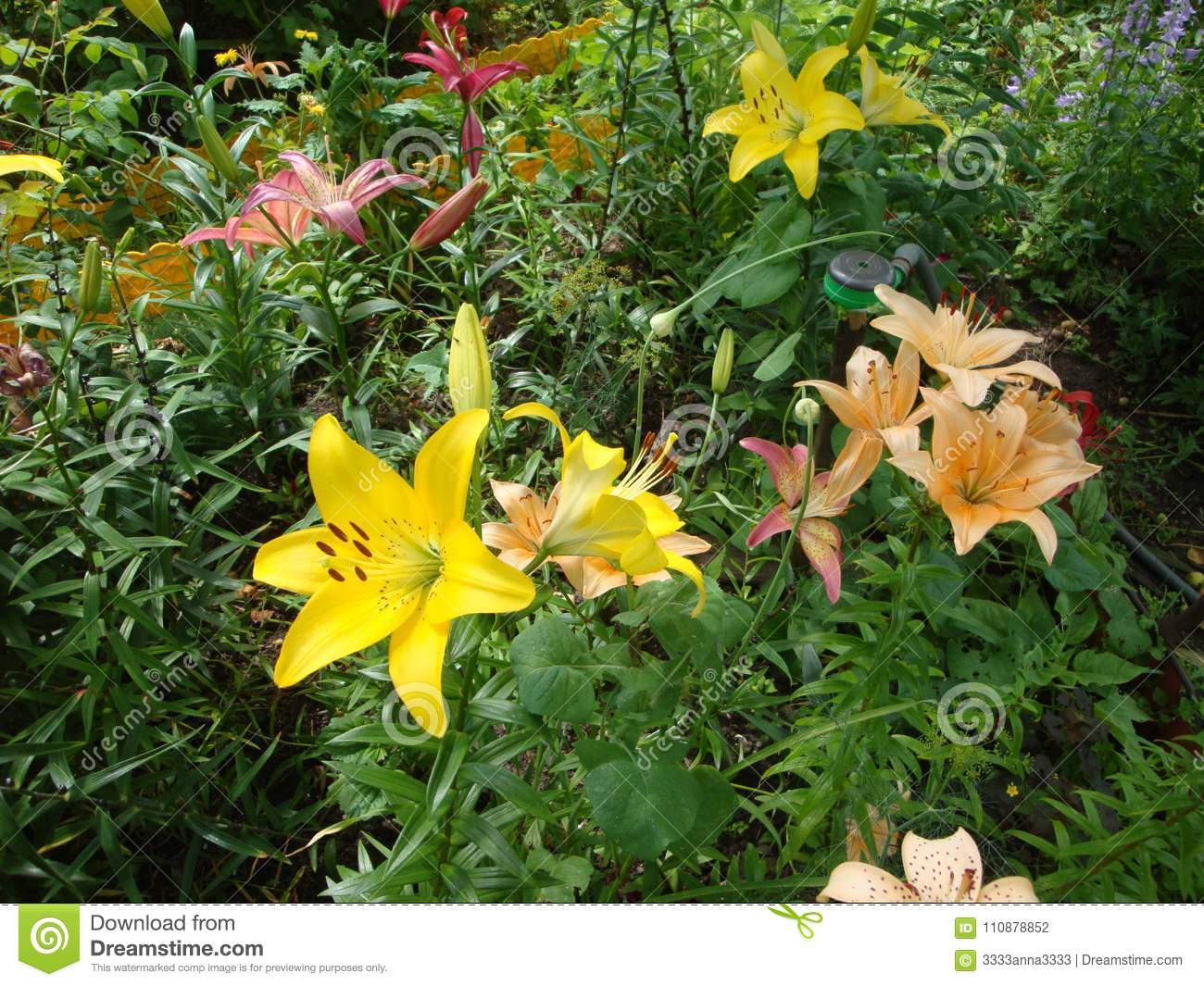 Glade with lilies of different colors stock photo image of download glade with lilies of different colors stock photo image of flowers color izmirmasajfo