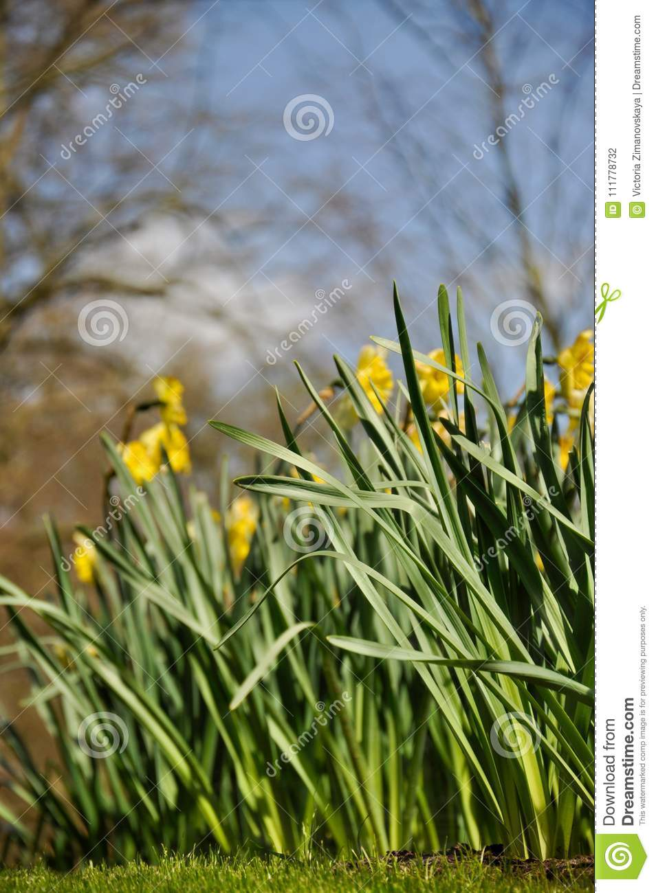 Glade of yellow daffodils flower bed spring