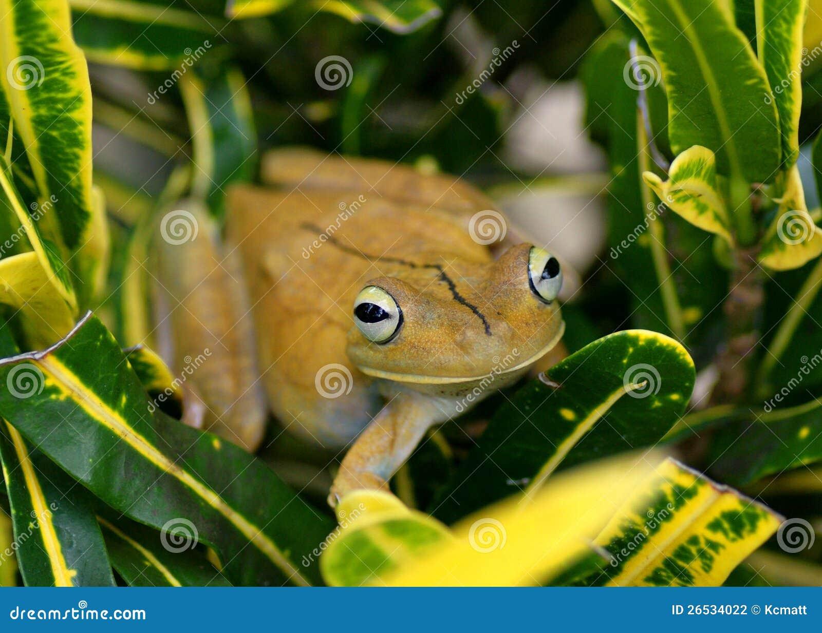 Gladiator Treefrog, rosenbergi Hypsiboas