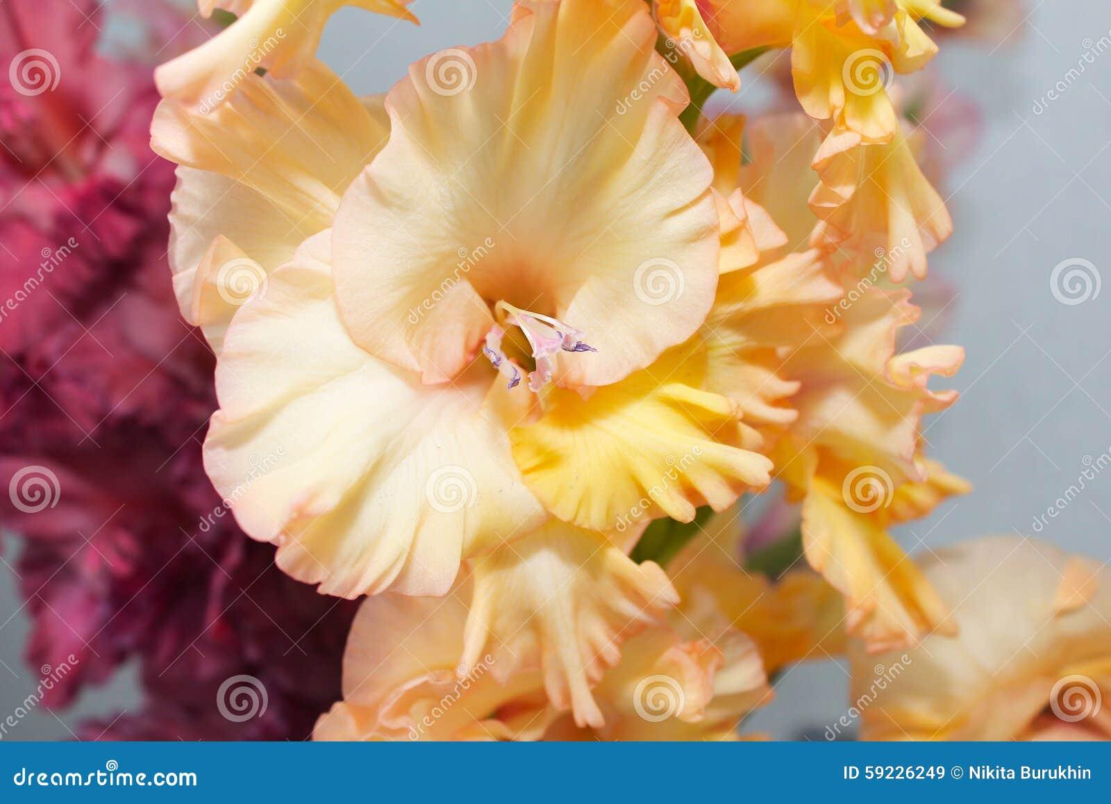 Download Gladiolo amarillo imagen de archivo. Imagen de estambre - 59226249