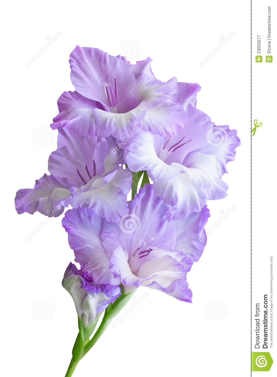 Gladiolus Branch Royalty Free Stock Photography - Image: 23055677